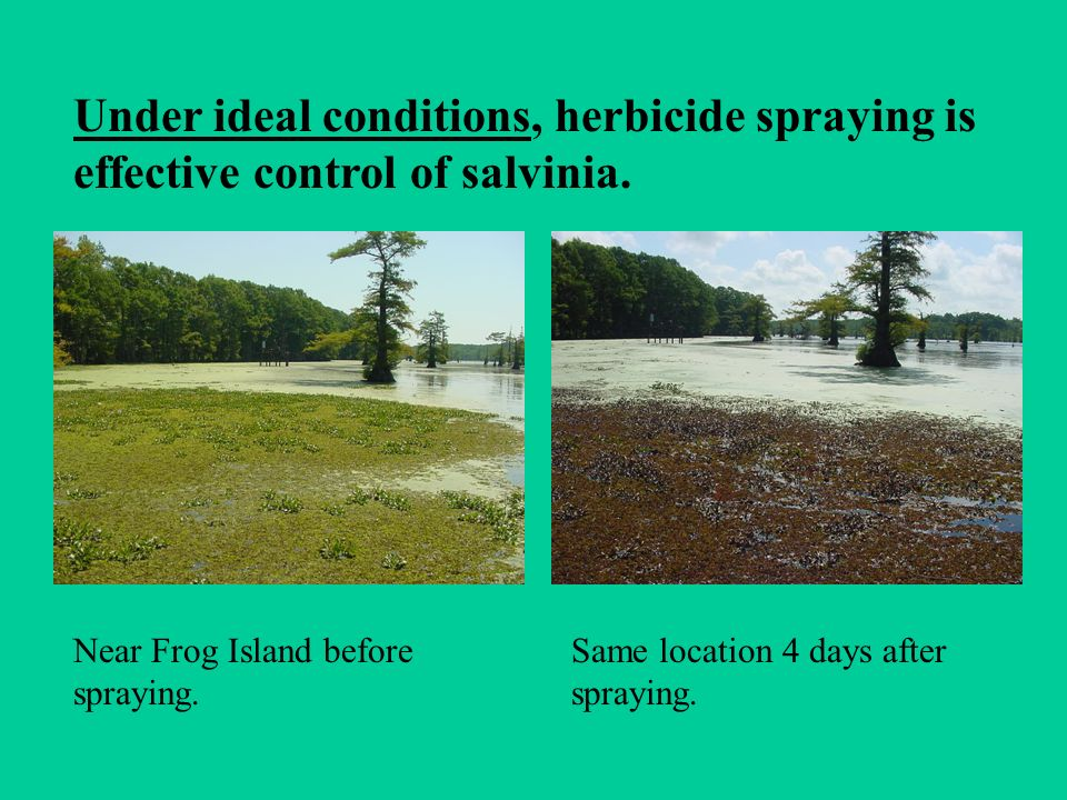 Under ideal conditions, herbicide spraying is effective control of salvinia.