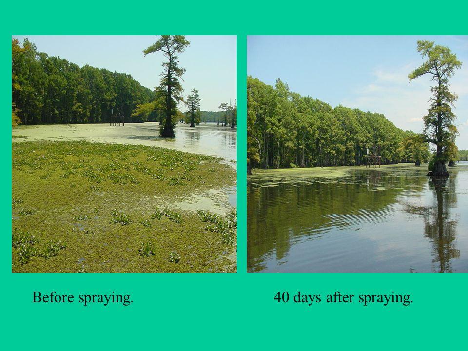 Before spraying.40 days after spraying.