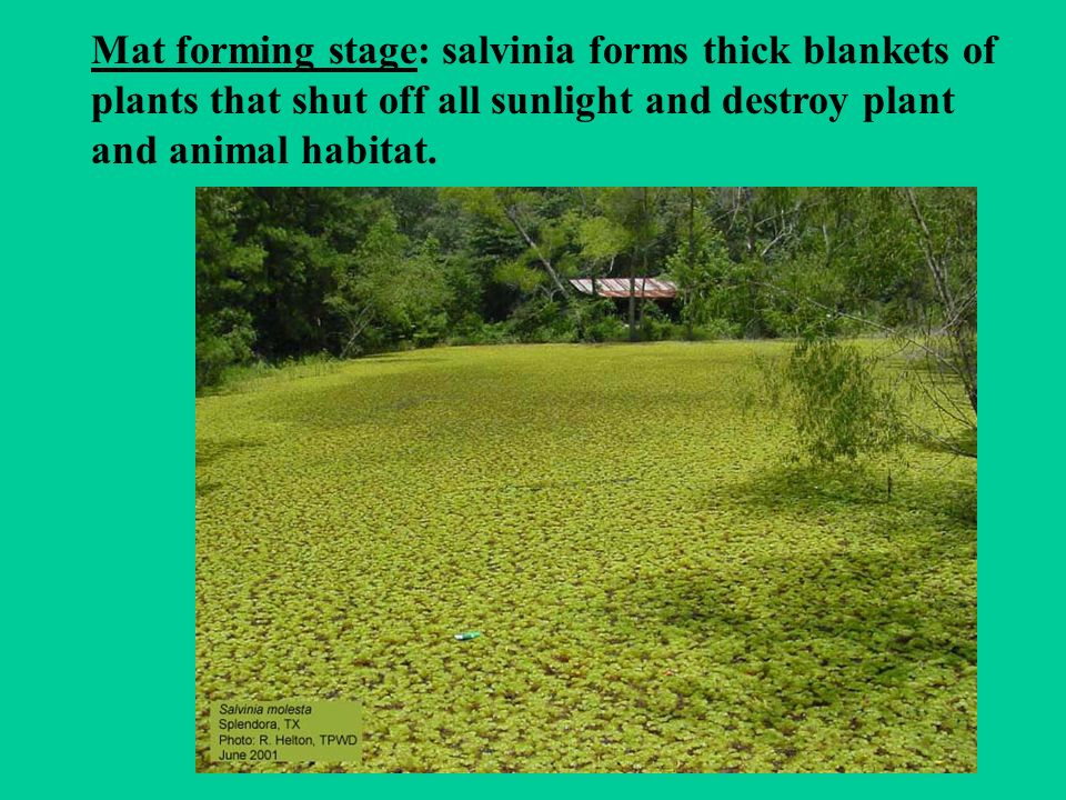 Mat forming stage: salvinia forms thick blankets of plants that shut off all sunlight and destroy plant and animal habitat.