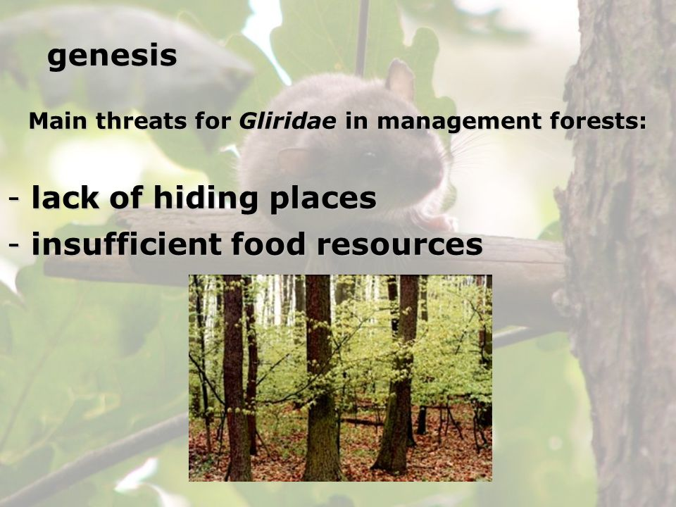 Main threats for Gliridae in management forests: - lack of hiding places - insufficient food resources genesis