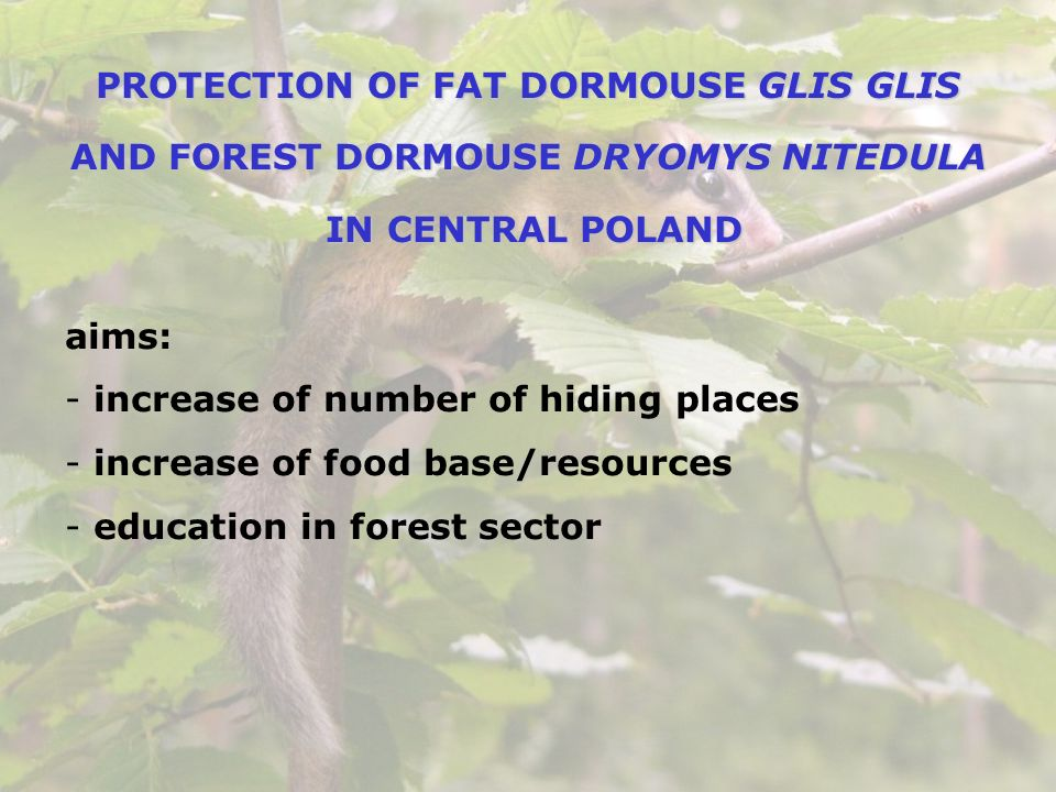 PROTECTION OF FAT DORMOUSE GLIS GLIS AND FOREST DORMOUSE DRYOMYS NITEDULA IN CENTRAL POLAND IN CENTRAL POLAND aims: - increase of number of hiding pla