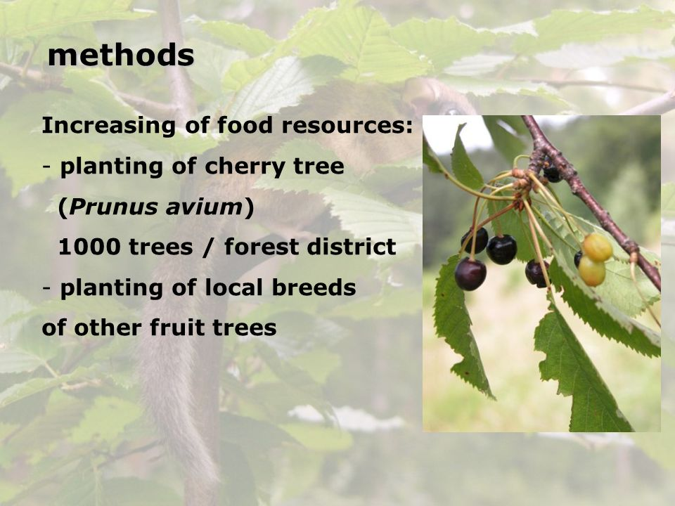 Increasing of food resources: - planting of cherry tree (Prunus avium) 1000 trees / forest district - planting of local breeds of other fruit treesmet