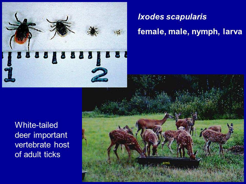 57 Ixodes scapularis female, male, nymph, larva White-tailed deer important vertebrate host of adult ticks