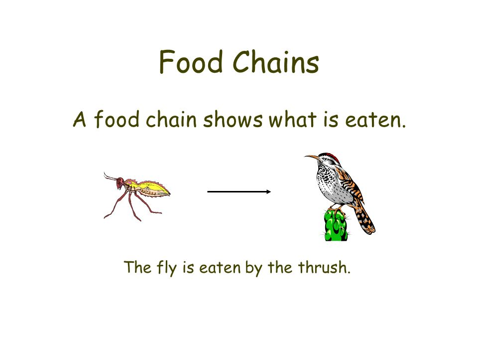 Food Chains A food chain shows what is eaten. The fly is eaten by the thrush.