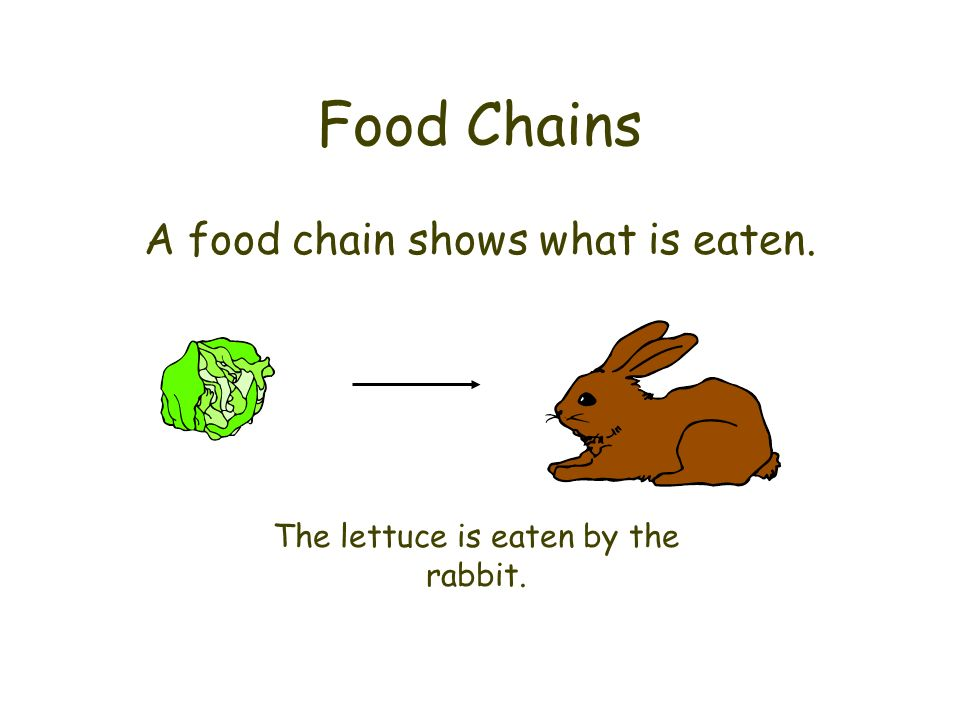 Food Chains A food chain shows what is eaten. The lettuce is eaten by the rabbit.