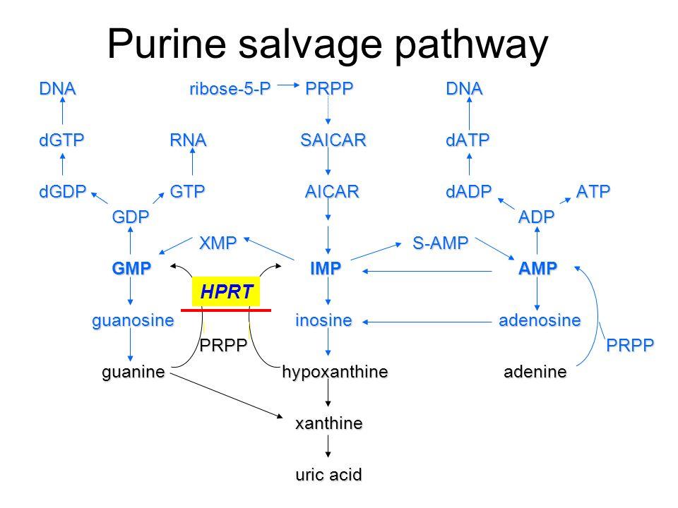Purine salvage pathway DNA ribose-5-P PRPP DNA dGTP RNA SAICAR dATP dGTP RNA SAICAR dATP dGDP GTP AICAR dADP ATP dGDP GTP AICAR dADP ATP GDP ADP GDP A