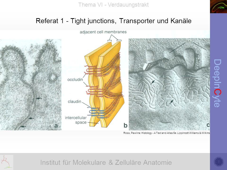 Institut für Molekulare & Zelluläre Anatomie DeepInCyte Thema VI - Verdauungstrakt Referat 1 - Tight junctions, Transporter und Kanäle Ross, Pawlina: Histology - A Text and Atlas 5e.