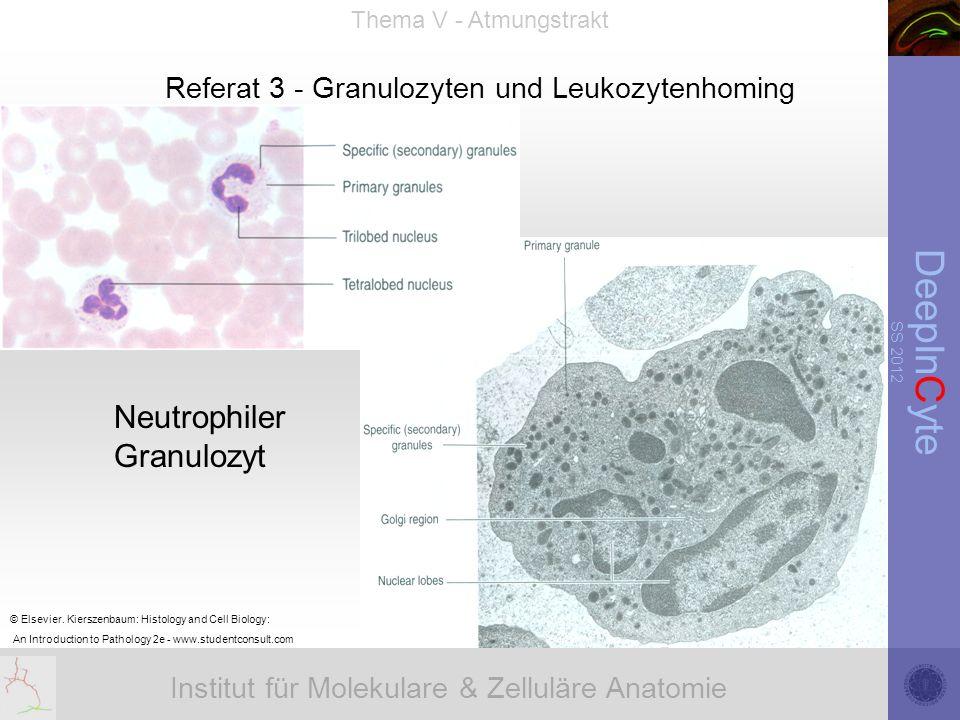Institut für Molekulare & Zelluläre Anatomie DeepInCyte SS 2012 Thema V - Atmungstrakt Referat 3 - Granulozyten und Leukozytenhoming © Elsevier.
