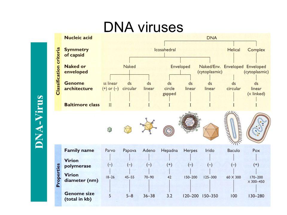 DNA viruses DNA-Virus