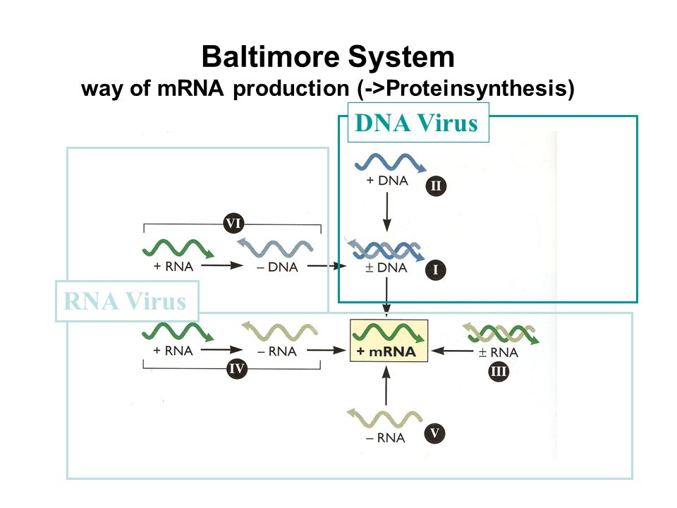 Baltimore System way of mRNA production (->Proteinsynthesis) DNA Virus RNA Virus