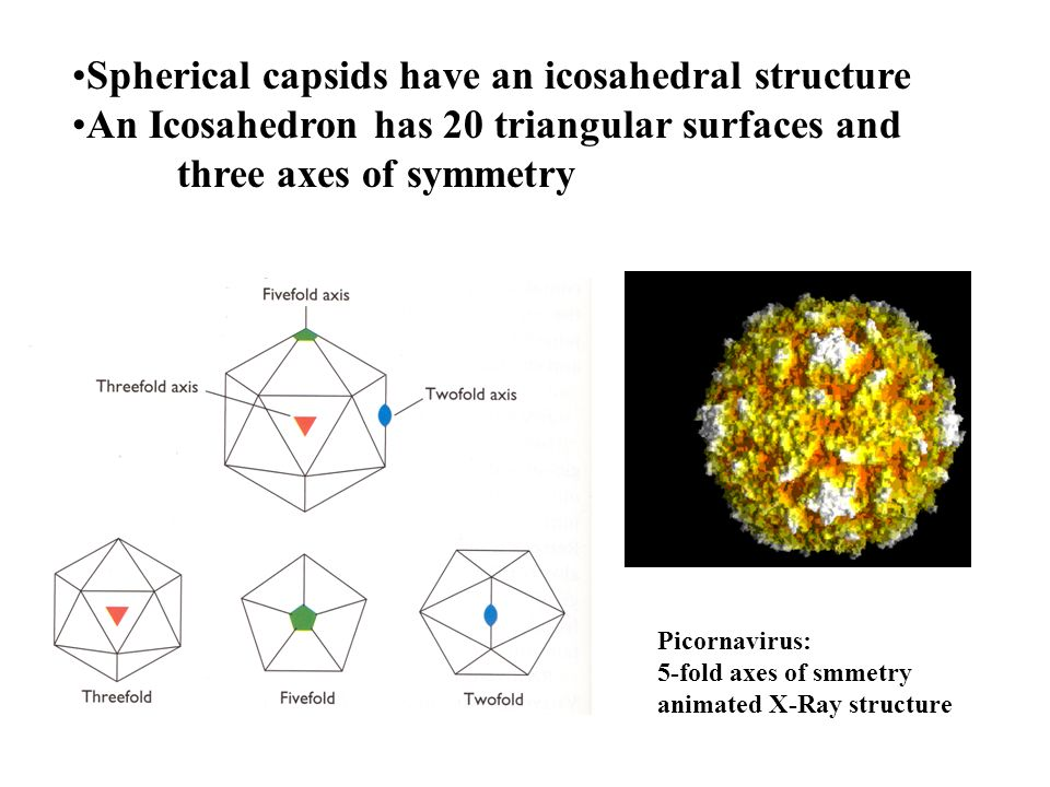 Spherical capsids have an icosahedral structure An Icosahedron has 20 triangular surfaces and three axes of symmetry Picornavirus: 5-fold axes of smme
