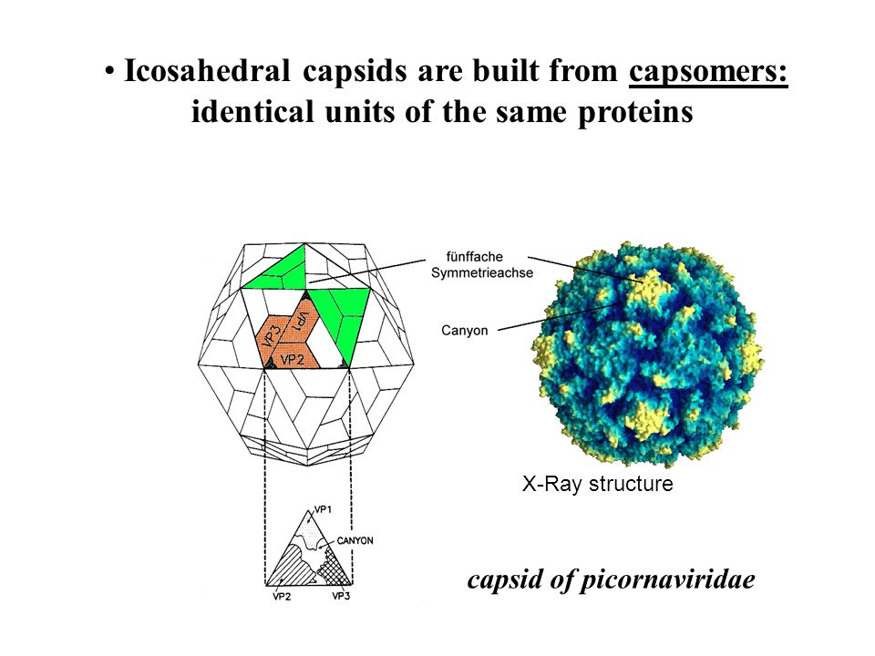Icosahedral capsids are built from capsomers: identical units of the same proteins X-Ray structure capsid of picornaviridae