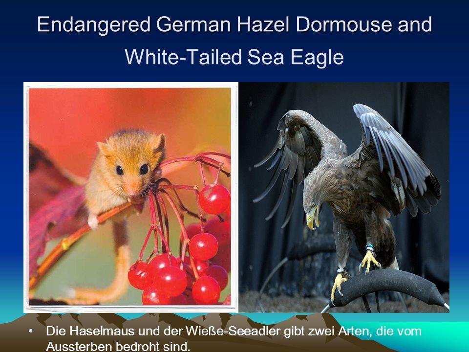 Endangered German Hazel Dormouse and Endangered German Hazel Dormouse and White-Tailed Sea Eagle Die Haselmaus und der Wieße-Seeadler gibt zwei Arten, die vom Aussterben bedroht sind.