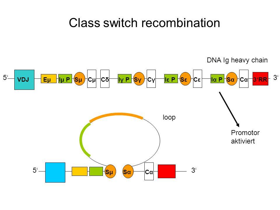 Class switch recombination DNA Ig heavy chain 53 EµIµ PSµCµCδCδIγ PSγSγCγCγIε PSεSεCεCεIα PSαSαCαCα3RR 5 SµSαSαCαCα 3 loop VDJ Promotor aktiviert