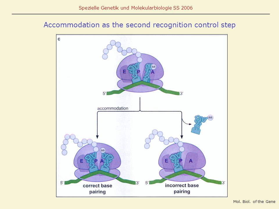 Spezielle Genetik und Molekularbiologie SS 2006 Accommodation as the second recognition control step Mol. Biol. of the Gene