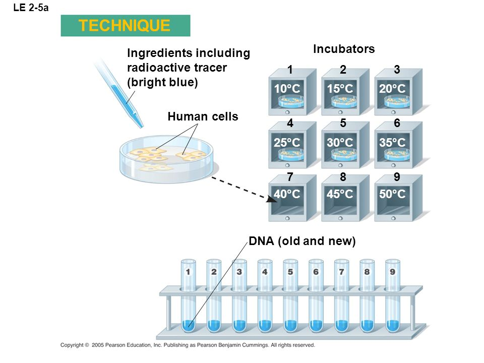 LE 2-5a Ingredients including radioactive tracer (bright blue) Incubators Human cells DNA (old and new) 123 456 789 10°C 25°C 40°C 15°C 30°C 45°C 20°C