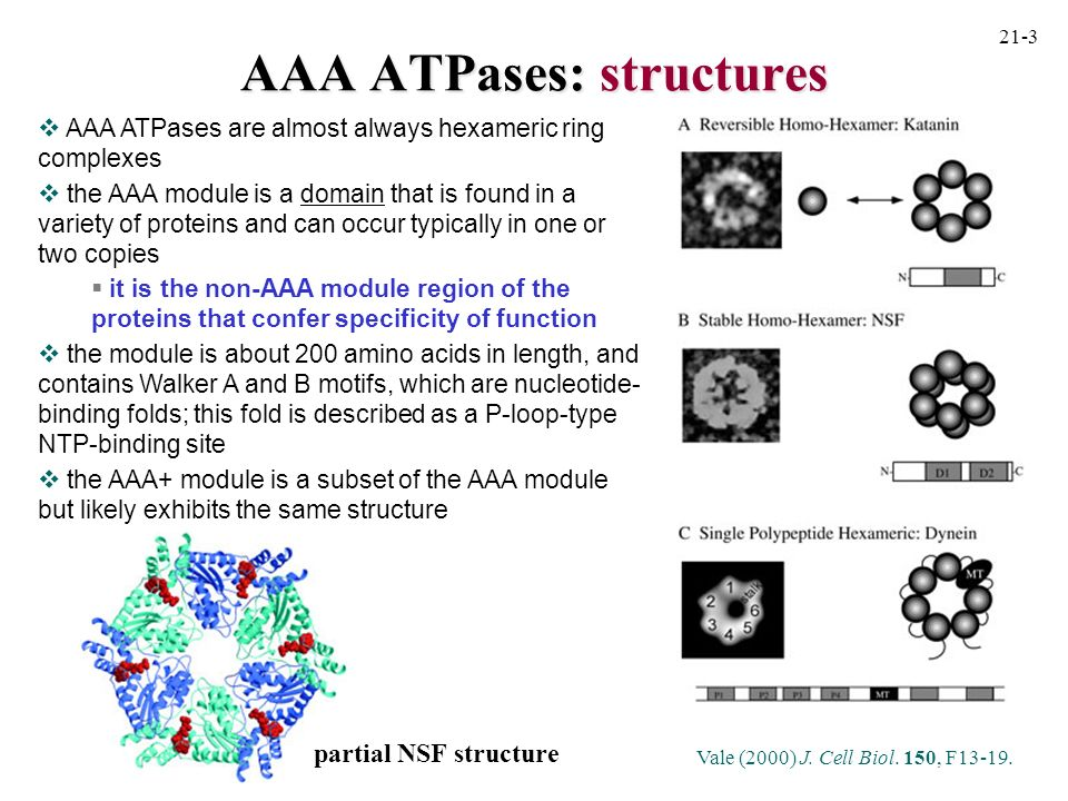 AAA ATPases: mechanism most of the functions of AAA module- containing proteins can be ascribed to some type of binding and modulation of protein conformation (e.g., unfolding, disassembly) such a functional mechanism may be similar to that of the GroEL chaperonin, which may partially unfold proteins before sequestering them into the folding chamber AAA ATPases undergo conformational changes upon nucleotide binding/hydrolysis (whether its simply binding or hydrolysis may differ between different proteins and is a topic of debate) Using rings as a molecular crowbar (Vale, 2000) Two possible functions of AAA ATPases which both necessitate a significant conformational change in the AAA ATPase.