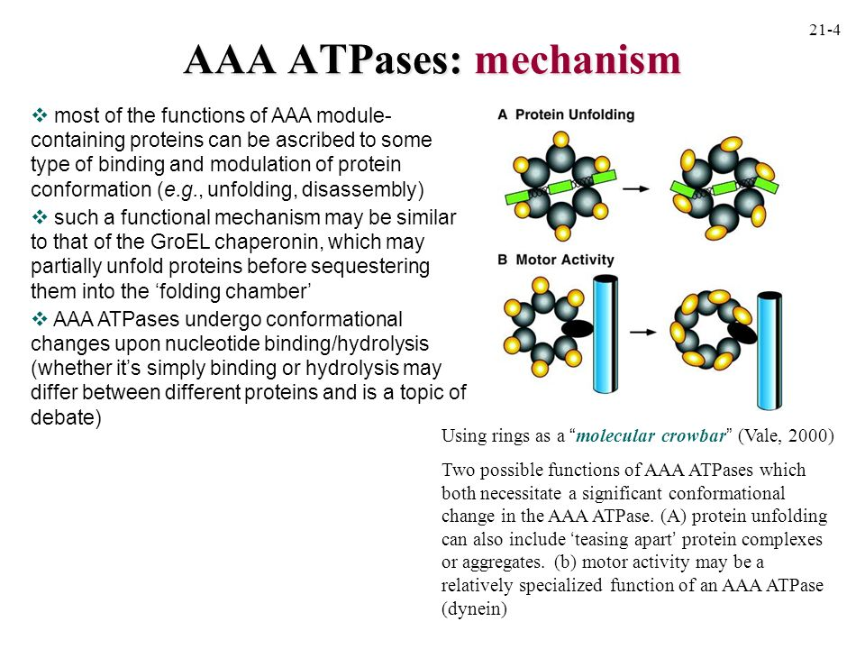 archaeal PAN Benaroudj and Goldberg (2000) PAN, the proteasome-activating nucleotidase from archaebacteria, is a protein-unfolding molecular chaperone.