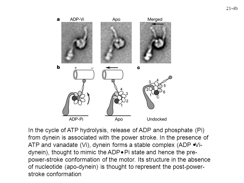 PAN: another archaeal AAA ATPase PAN is an archaeal homohexameric complex that is evolutionarily related to the six different subunits of the eukaryotic proteasome AAA ATPase rpt2 proteins that form part of the regulatory particle and bind the core proteasome PAN is an acronymn for Proteasome Activating Nucleotidase, and as its name implies, it stimulates the activity of the proteasome and hydrolyzes nucleotides (ATP) PAN is not present in all archaea e.g., T.