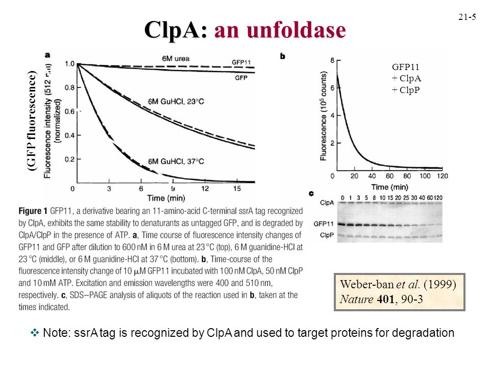 ClpA: an unfoldase contd trap denotes D87K mutant GroEL that can bind non-native proteins very effectively but does not release them ATP-gamma-S is a non-hydrolyzable analogue of ATP results show that ClpA can unfold GFP11 independent of the ClpP protease (GFP fluorescence) 21-6