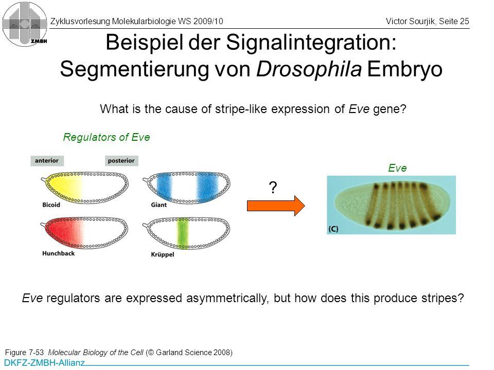 Zyklusvorlesung Molekularbiologie WS 2009/10Victor Sourjik, Seite 25 Beispiel der Signalintegration: Segmentierung von Drosophila Embryo Figure 7-53 M