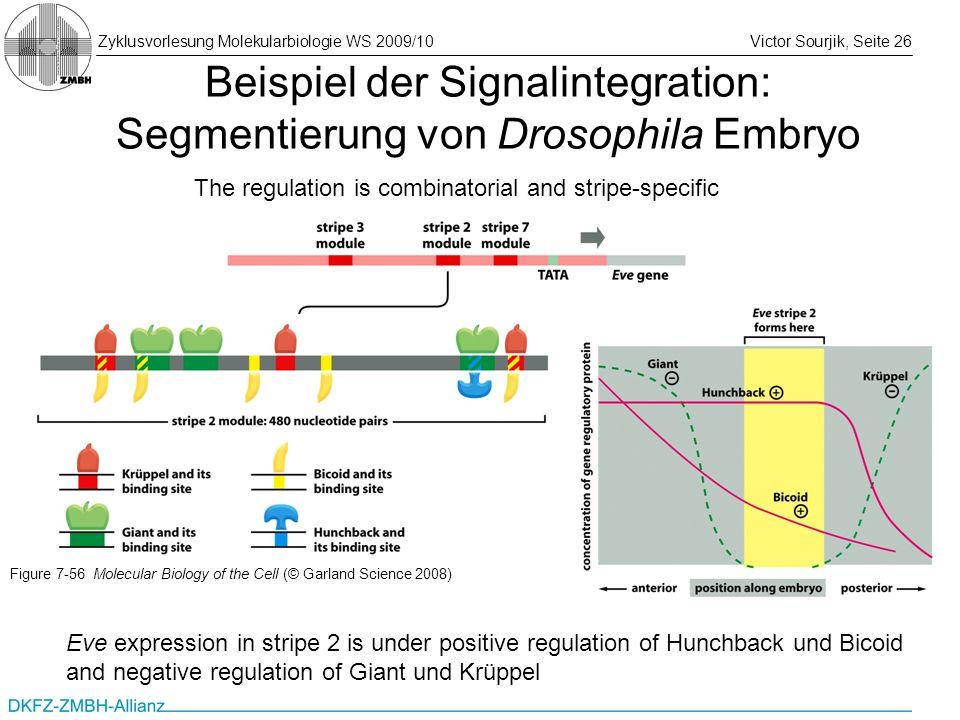 Zyklusvorlesung Molekularbiologie WS 2009/10Victor Sourjik, Seite 26 Beispiel der Signalintegration: Segmentierung von Drosophila Embryo The regulatio