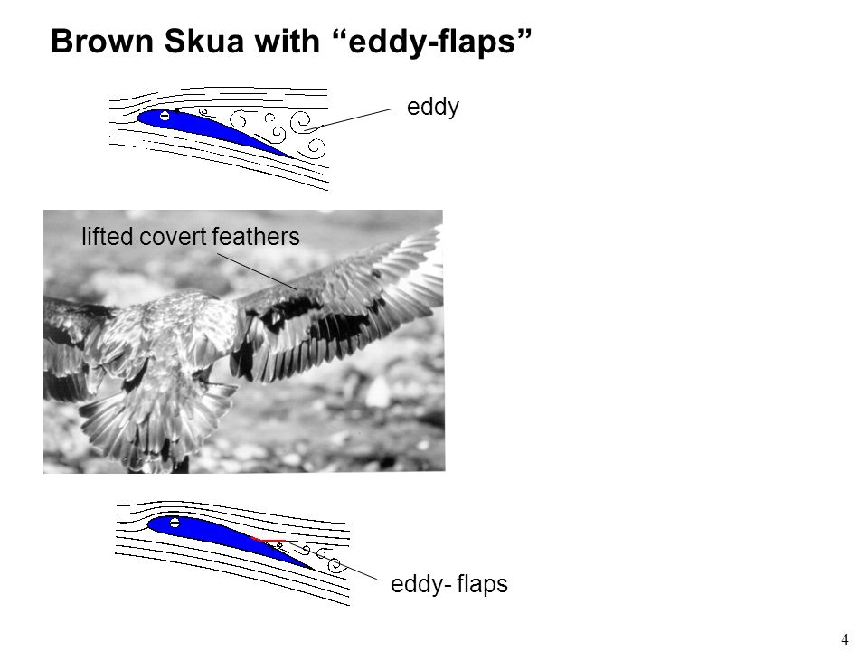 4 Brown Skua with eddy-flaps lifted covert feathers eddy- flaps eddy