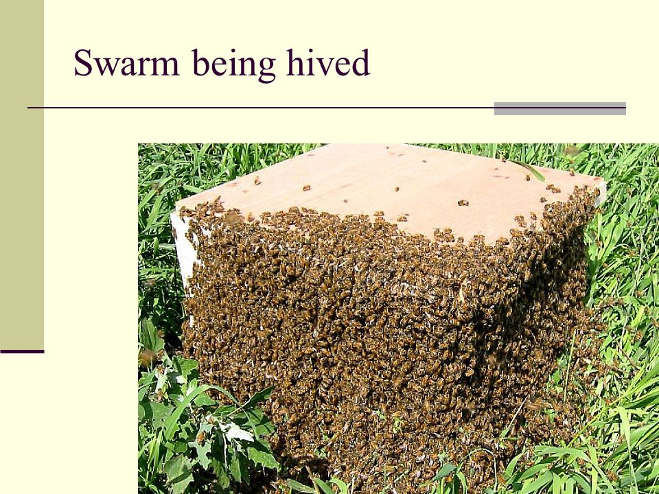 Swarm being hived