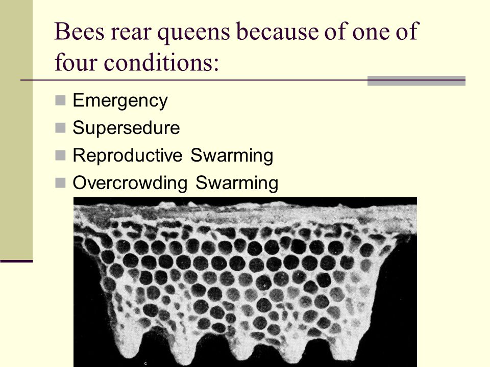 Bees rear queens because of one of four conditions: Emergency Supersedure Reproductive Swarming Overcrowding Swarming