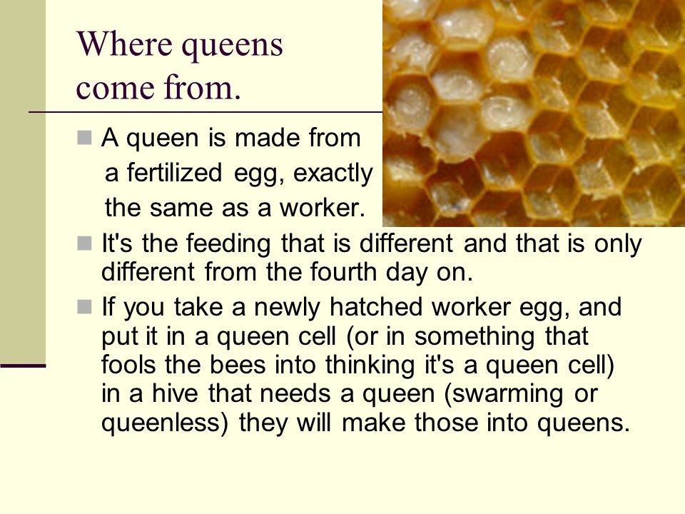 Where queens come from. A queen is made from a fertilized egg, exactly the same as a worker. It's the feeding that is different and that is only diffe