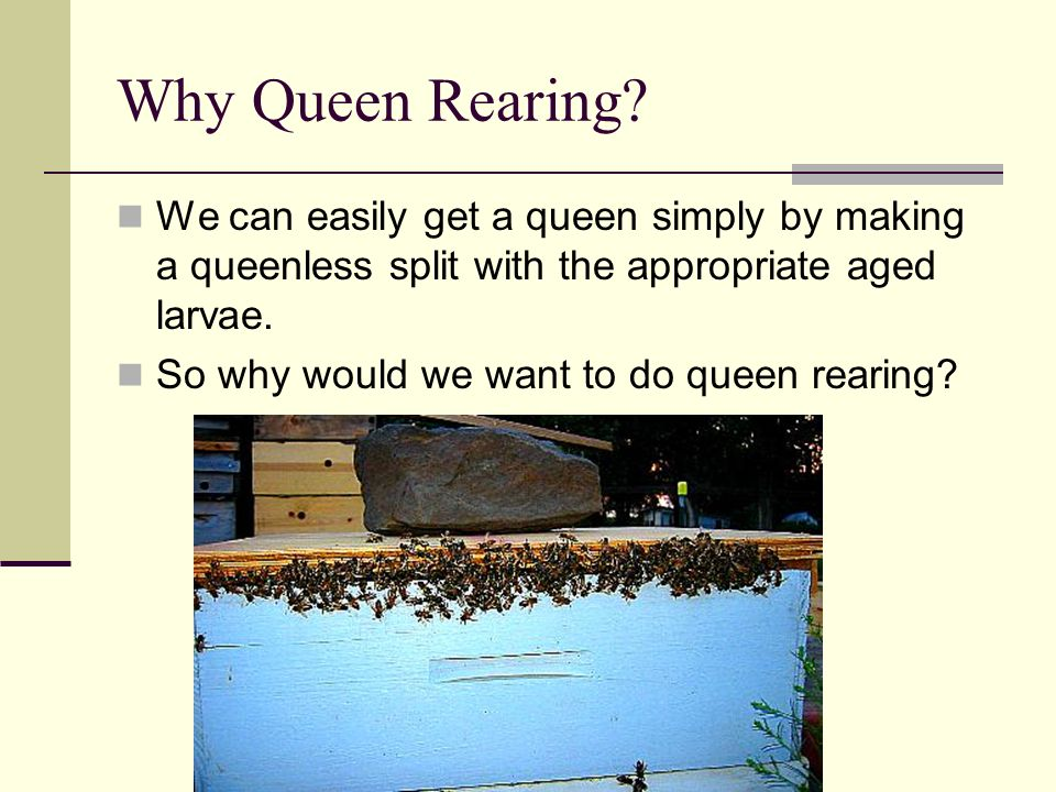 Why Queen Rearing? We can easily get a queen simply by making a queenless split with the appropriate aged larvae. So why would we want to do queen rea