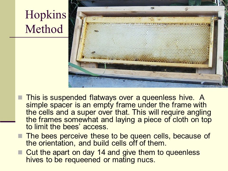 Hopkins Method This is suspended flatways over a queenless hive. A simple spacer is an empty frame under the frame with the cells and a super over tha