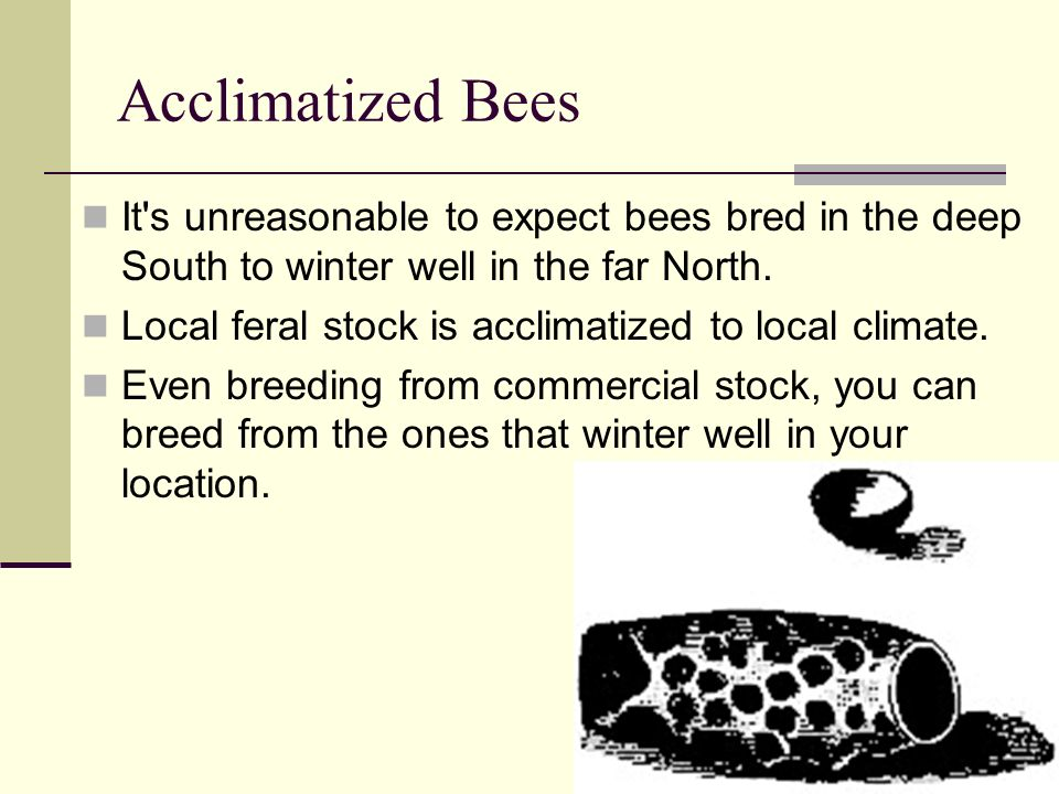 Acclimatized Bees It's unreasonable to expect bees bred in the deep South to winter well in the far North. Local feral stock is acclimatized to local