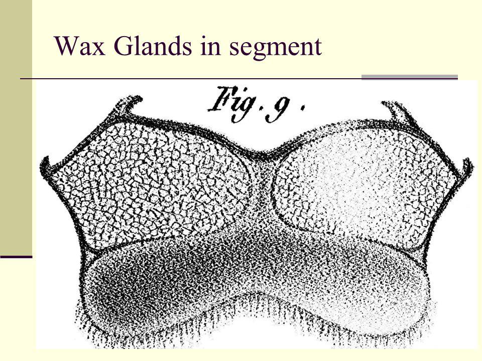 Wax Glands in segment