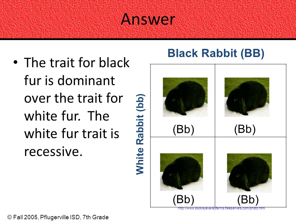 © Fall 2005, Pflugerville ISD, 7th Grade Answer The trait for black fur is dominant over the trait for white fur. The white fur trait is recessive. ht