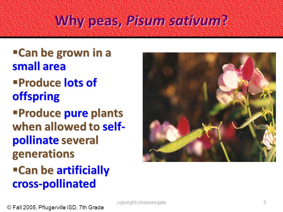 © Fall 2005, Pflugerville ISD, 7th Grade Why peas, Pisum sativum? Can be grown in a small area Can be grown in a small area Produce lots of offspring