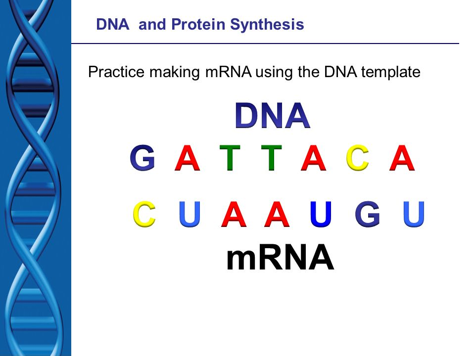 DNA and Protein Synthesis Practice making mRNA using the DNA template