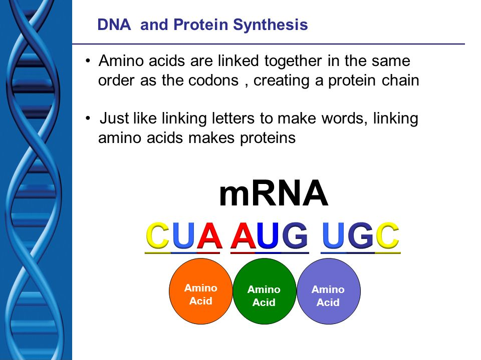 DNA and Protein Synthesis Amino acids are linked together in the same order as the codons, creating a protein chain Just like linking letters to make