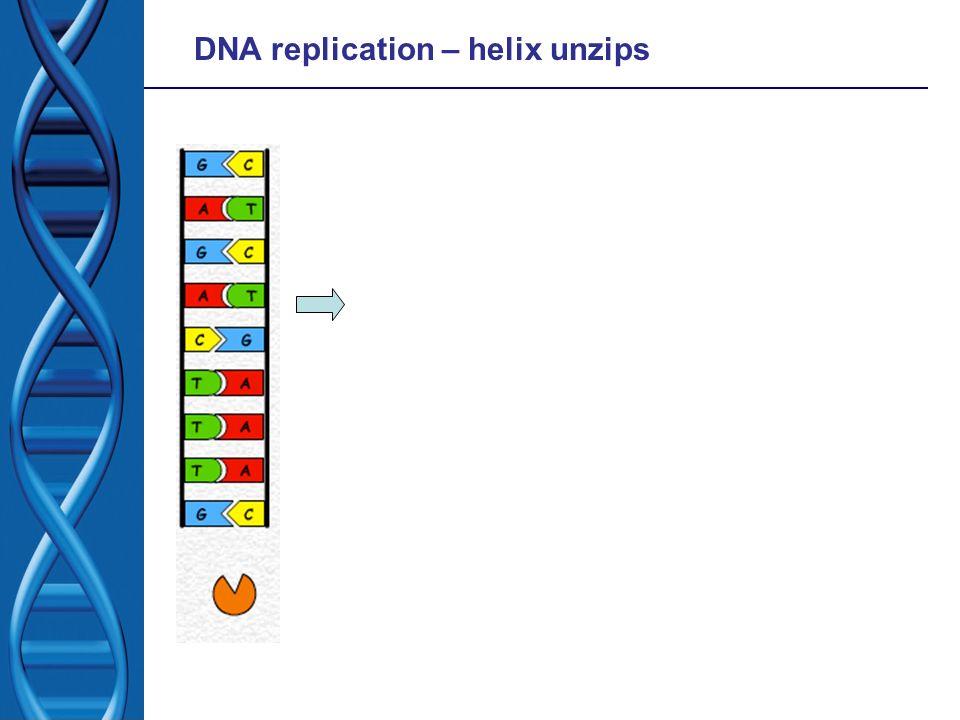 DNA replication – helix unzips