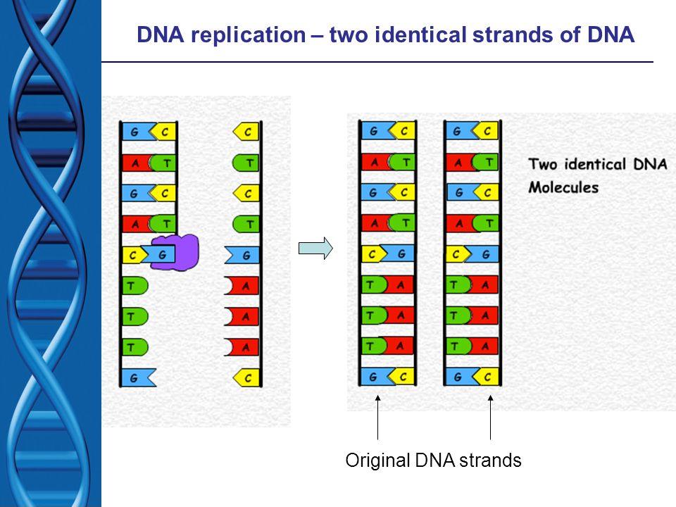 DNA replication – two identical strands of DNA Original DNA strands