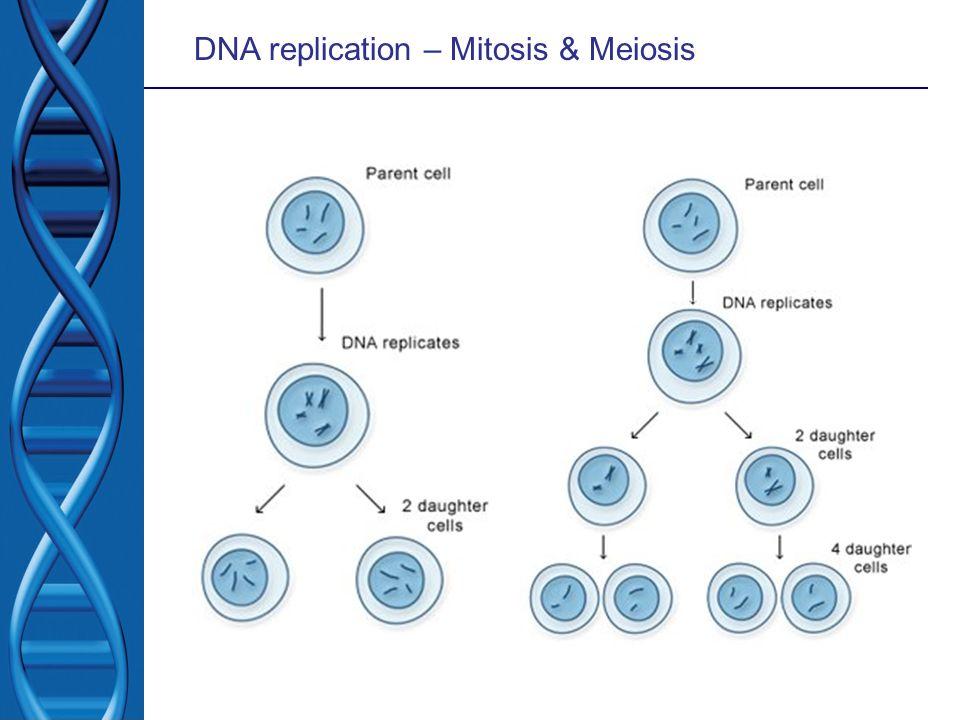 DNA replication – Mitosis & Meiosis