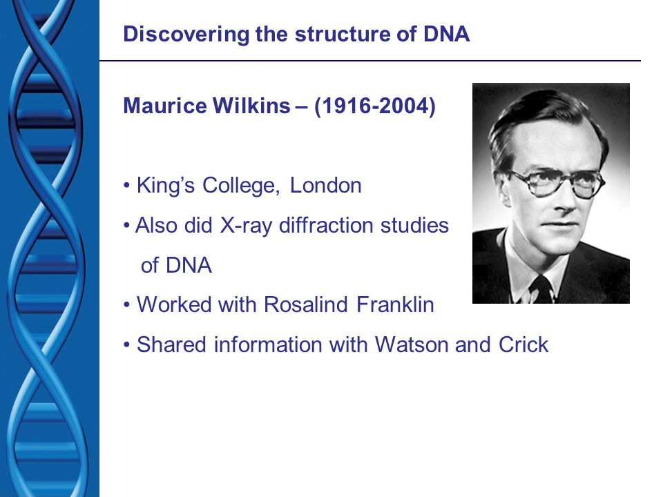 Discovering the structure of DNA Maurice Wilkins – (1916-2004) Kings College, London Also did X-ray diffraction studies of DNA Worked with Rosalind Fr