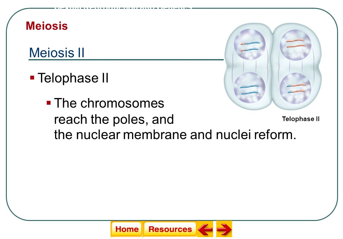 Sexual Reproduction and Genetics Meiosis Meiosis II Telophase II The chromosomes reach the poles, and the nuclear membrane and nuclei reform.