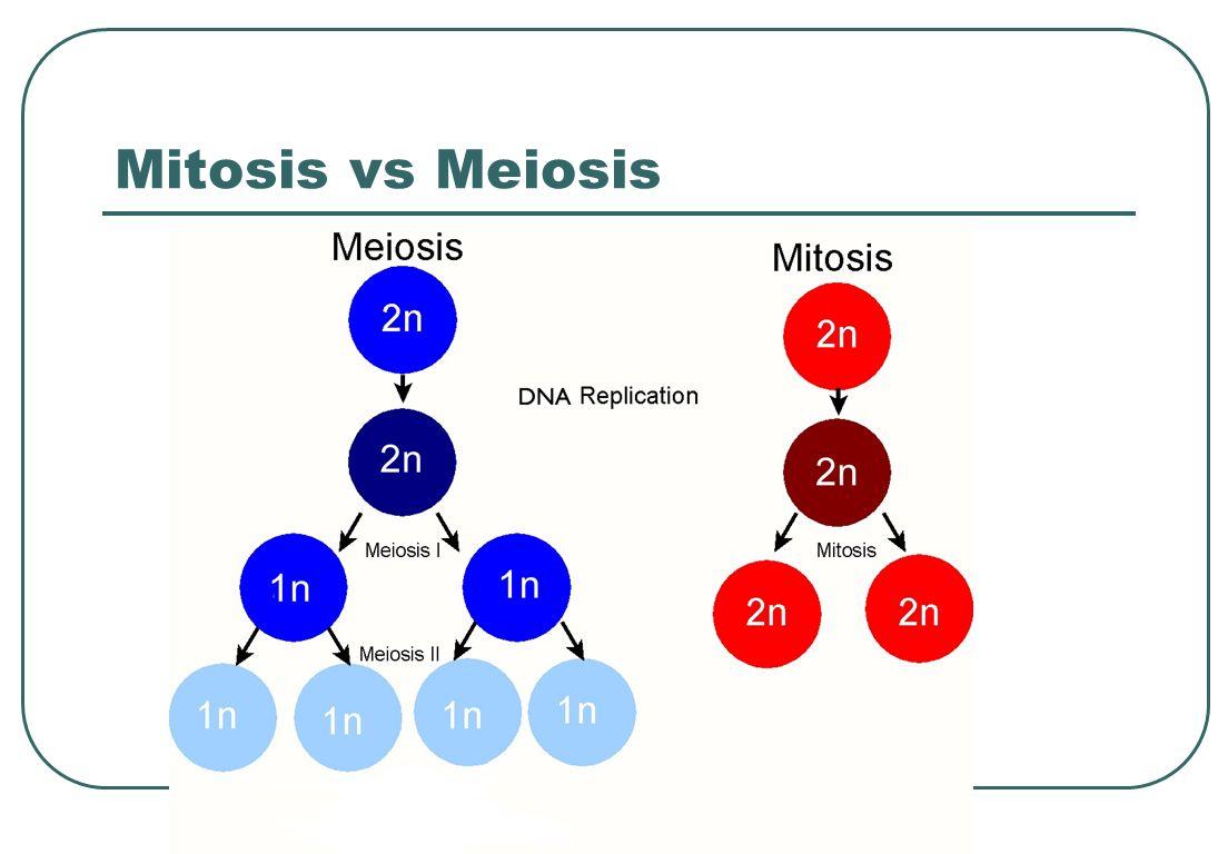 Mitosis vs Meiosis