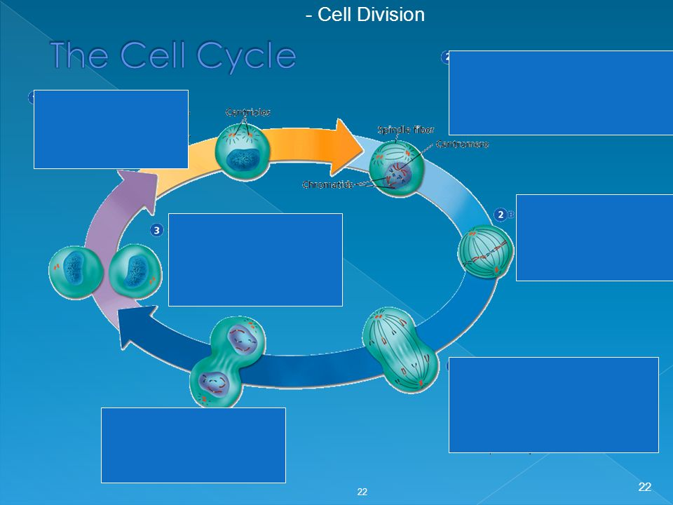 22 - Cell Division 22