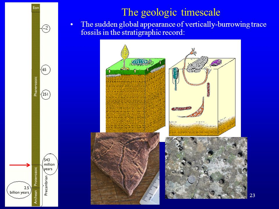 23 The geologic timescale The sudden global appearance of vertically-burrowing trace fossils in the stratigraphic record: