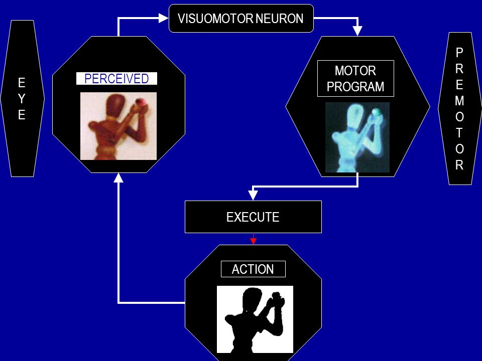 MIRROR NEURONS VISUOMOTOR NEURONS AUDIOVISUAL NEURONS MULTIFUNCTIONAL NEURONS