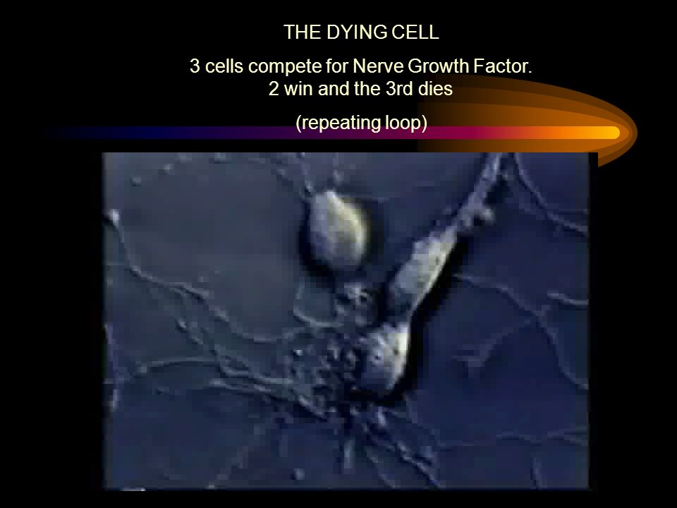 THE DYING CELL 3 cells compete for Nerve Growth Factor. 2 win and the 3rd dies (repeating loop)