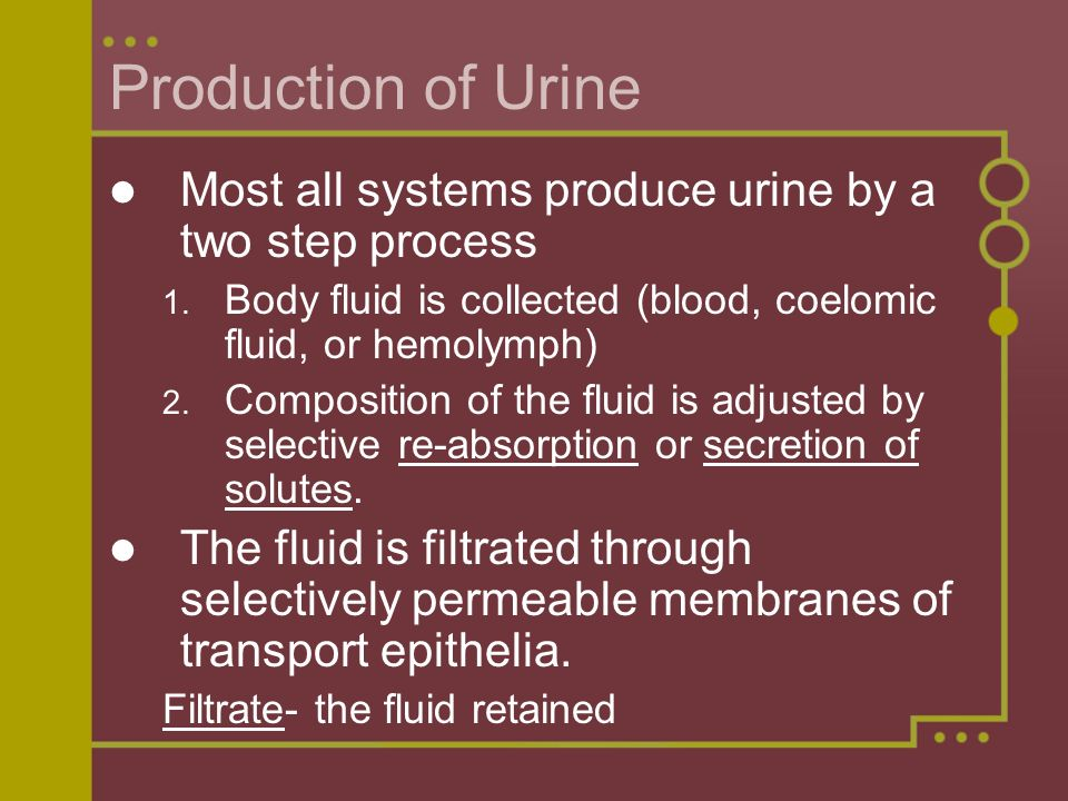 Production of Urine Most all systems produce urine by a two step process 1. Body fluid is collected (blood, coelomic fluid, or hemolymph) 2. Compositi