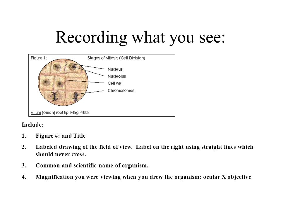 Recording what you see: Include: 1.Figure #: and Title 2.Labeled drawing of the field of view. Label on the right using straight lines which should ne